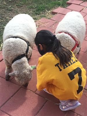 SJS Sheep with Student